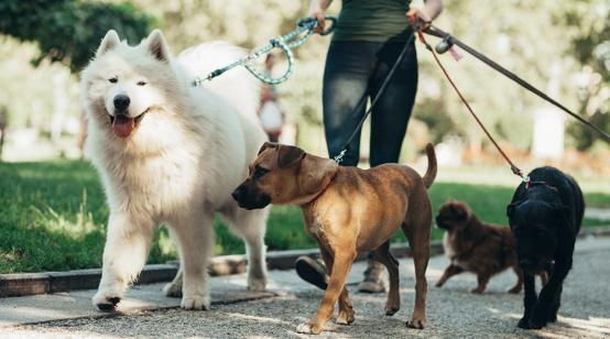 Dog walker walking with a group of dogs on leashes