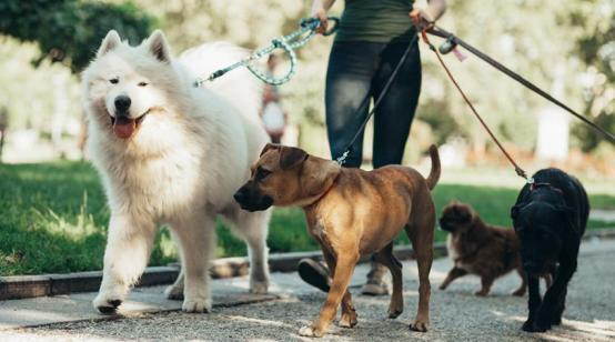 Group of dogs on leashes out for a walk in an open space