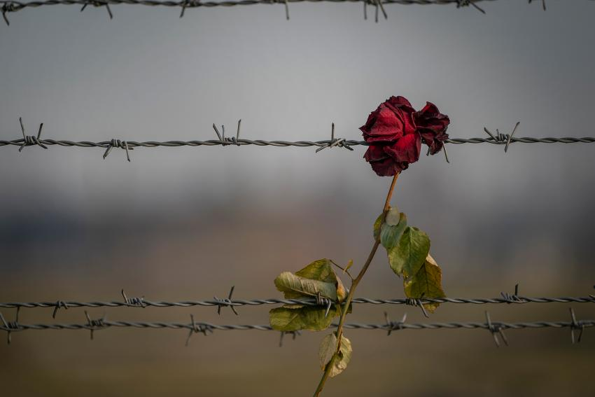 Remembrance image of a red rose caught on barbed wire