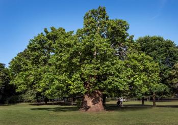 London Plane Tree Platanus X Hispanica located in Ravenscourt Park