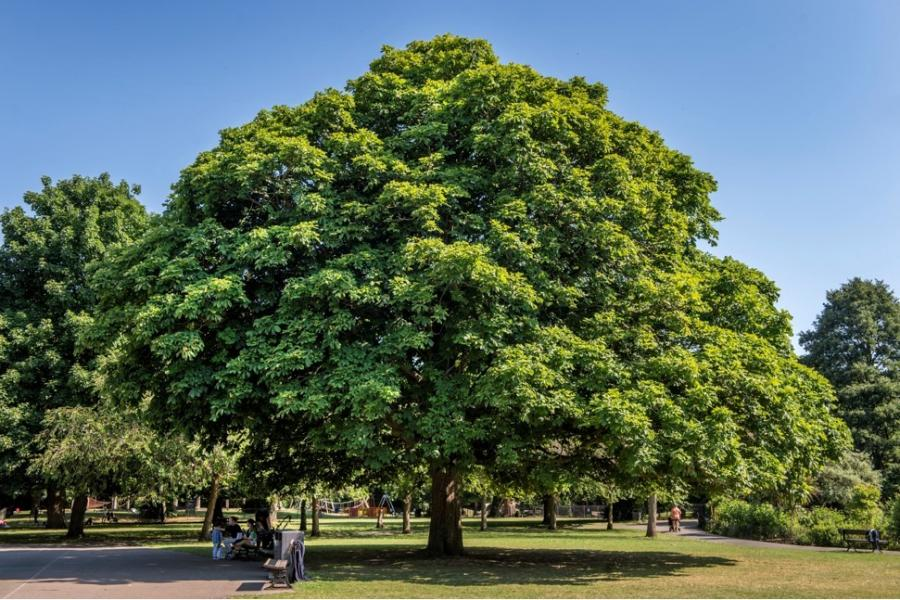 Horse Chestnut Aesculus Hippocastranum with a family sitting underneath on a park bench