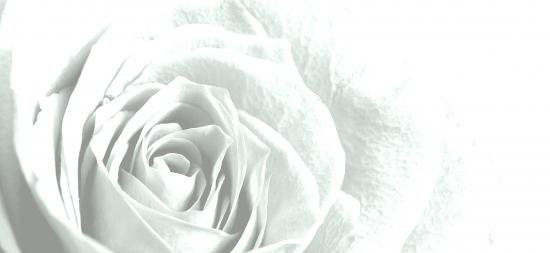 White rose - link to H&F Book of remembrance
