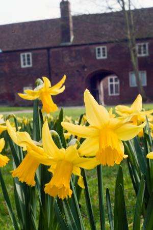 Daffodils in a communal garden space