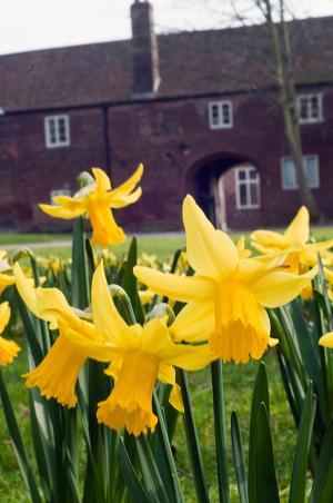 Daffodils in a communal garden space