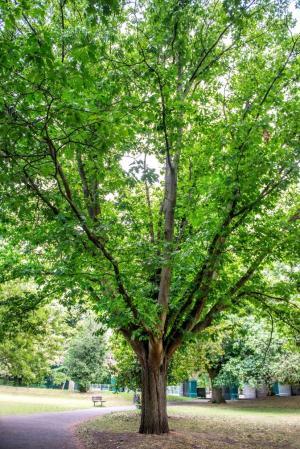 Red Oak Quercus Rubra in Ravenscourt Park at the Memorial Gates adjacent to King Street